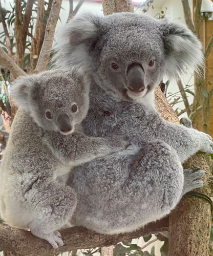 Koalas found to have novel way of drinking